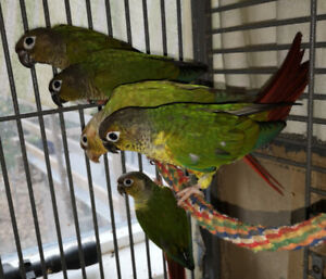 Young Conures (parrot)