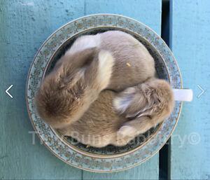 Pedigreed holland lop & Netherland dwarf babies--small space pet