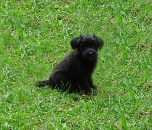 Soft coated fluffy Black Whoodle puppies