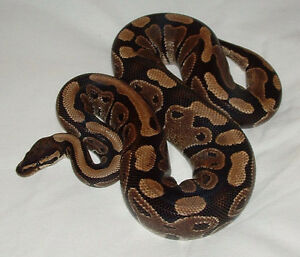 Ball python looking for good home
