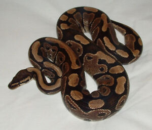 In search of tank and supplies for a ball python