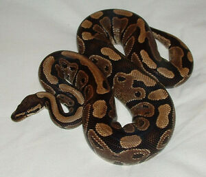 ball python and tank for sale