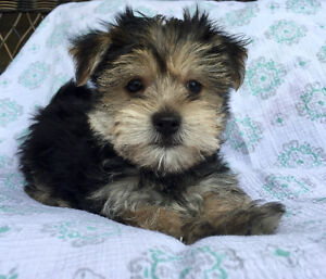 Tiny Morkie Puppies ready now! Maltese x Yorkie