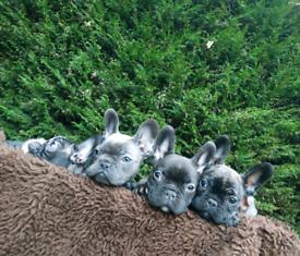 Blue French bulldog ,,,❤️❤️❤️ ready 4 you..