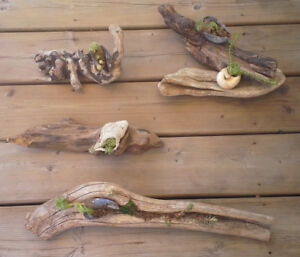 DRIFT WOOD with SHELLS and HENS and CHICKS