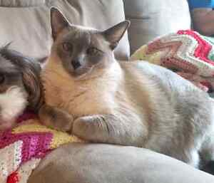Female siamese cat looking for a forever home