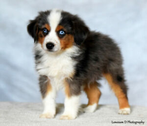 Mini Aussie | Adopt Dogs & Puppies Locally in Canada