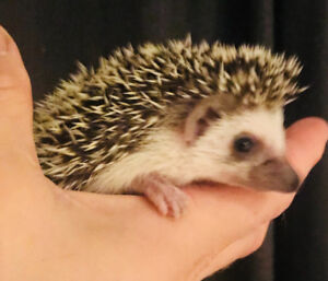 Adorable & tame baby African Pygmy Hedgehogs! Great little pets!
