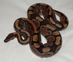 Ball python and complete set up