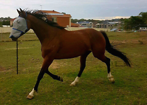 Bay mare infoal to a paint stallion due Nov Edensor Park Fairfield Area Preview