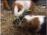 Two female guinea pigs with many goodies!