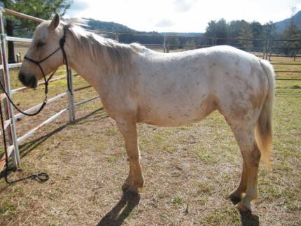 Soft responsive Appaloosa Mare Urbenville Tenterfield Area Preview