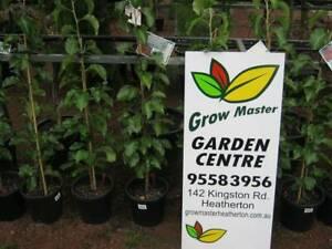 Large trees. Ornamental pears. Start  Heatherton Kingston Area Preview