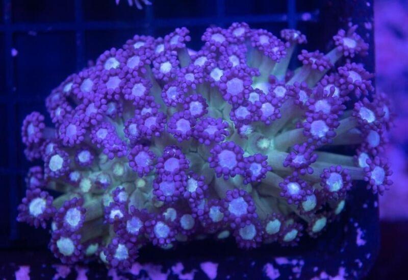 Alveopora Coral Frag