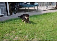 KC registered lakeland terrier puppy