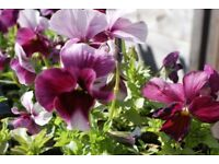 bedding plants pansy beacon rose 6 pack