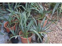 YUCCA PLANT FLOWERING, ESTABLISHED HARDY TROPICAL LOOKING, £4 EACH OR 3 FOR £10, CAN POST