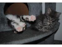 Super fluffy kittens