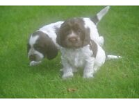 Show Cocker Spaniel Puppies For Sale