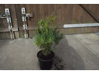 buxus common Box hedging in 5 litre pots
