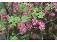 flowering currant ribes early flowering shrub in 2 litre pot