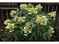 helleborus augustifolia hellebore cottage garden woodland favourite