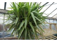 Yucca elephantipes variega standard huge headed Plant