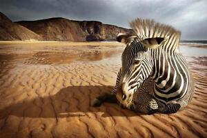 """Large 24""""x36"""" Beautiful High Definition """"Zebra On The Beach"""" Picture"""