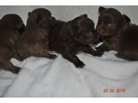 Exceptional Chocolate longhaired Chihuahuas