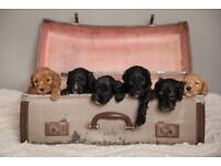 Beautiful F2b Cockapoo puppies