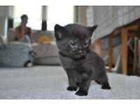 Kitten chocolate brown.mix of mother is russian blue