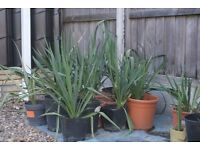 TROPICAL HARDY EASY TO GROW FLOWERING YUCCA, SEVERAL AVAILABLE, CAN DELIVER
