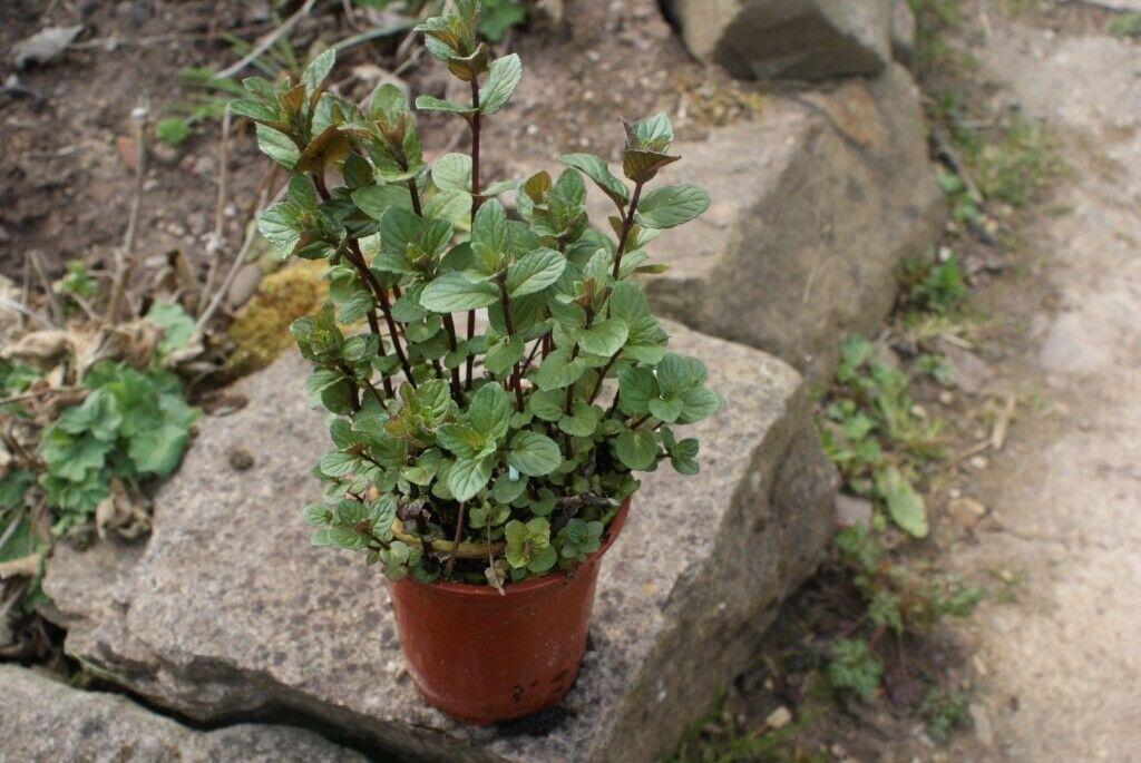 mint plants chocolate , apple , spearmint , herbs | in Hartlepool, County  Durham | Gumtree