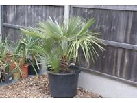 """MEDITERRANEAN FAN PALM 48"""", ESTABLISHED, HARDY TO MINUS 12 DEGREES, LOTS OF GROWTH, CAN DELIVER"""