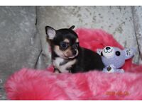 Tiny girl chihuahua puppies for sale