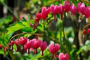 POTTED 1 LITRE DICENTRA SPECTABILIS (BLEEDING HEART) PINK SUMMER PERENNIAL PLANT
