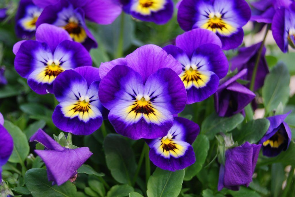 Viola - Violet Flower (approximate 100 seeds)