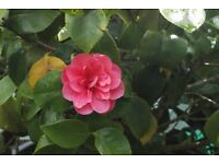 camellia evergreen red pink flower in large pot