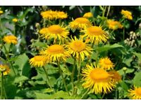 Pot of Inula plants flowering or in bud now