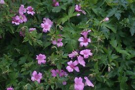 pink geranium perennial plant flowers