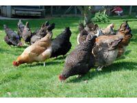 Really attractive, large Cuckoo Maran hybrid hens