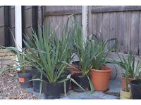 TROPICAL LOOKING HARDY, FLOWERING, EASY GROW YUCCA, SEVERAL AVAILABLE, CAN DELIVER