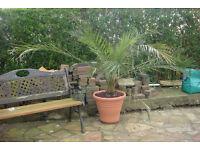 PHOENIX CANARIENSIS / CANARY ISLAND DATE PALM TREE
