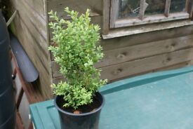 "box hedging pot grown 18"" tall price each"