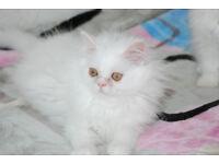 Beautiful Purebred Longhaired Persian Kitten White Male