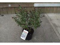 hebe (mrs Winder) purple flowering shrub in 2 litre pot