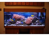 MARINE TANK AQUARIUM FISH - Anemones (x2) and Clown fish (pair)