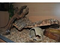 Corn Snake for sale with viv +accessories