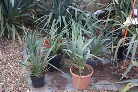 YUCCA PLANT, TROPICAL LOOKING, HARDY ESTABLISHED, £4 EACH OR THREE FOR £10, CAN POST