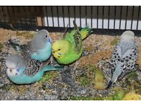 Budgies for sale all baby birds